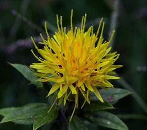 Safflower plant in bloom