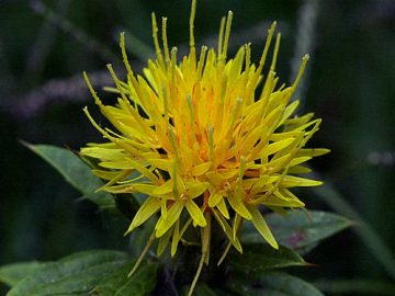 Safflower plant in bloom